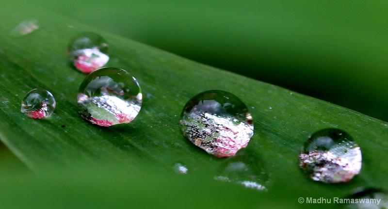 Pearls on petals...