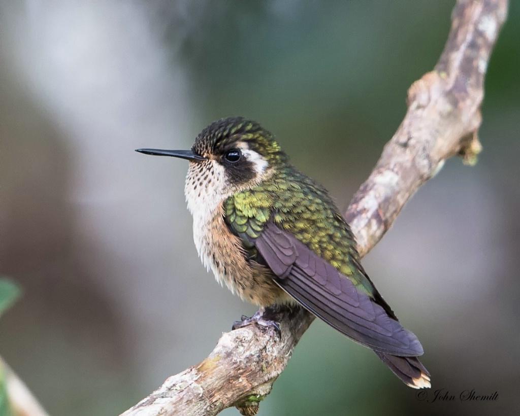 Speckled Hummingbird - Jan 25th, 2014 - ID: 15263790 © John Shemilt