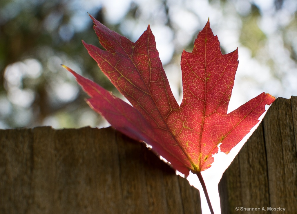 Fall's Maple Leaf