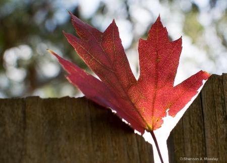 Fall's Maple Leaf