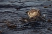Sea Otter, Monter...