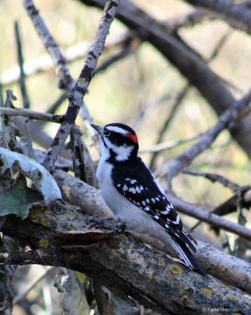 Sitting Woodpecker