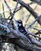 Sitting Woodpecke...