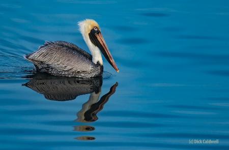 American Brown Pelican: image by Dick Caldwell