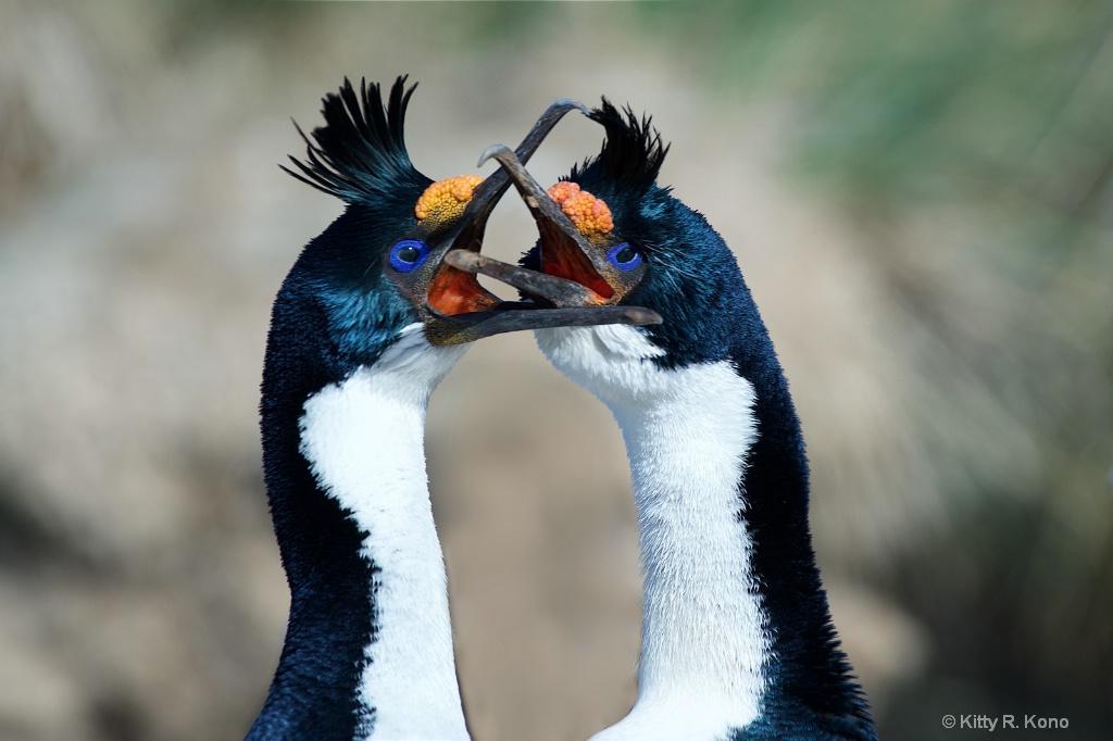 Blue Eyed Shags on Bird Island in South Georgia - ID: 15269224 © Kitty R. Kono