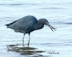 Little Blue Heron...