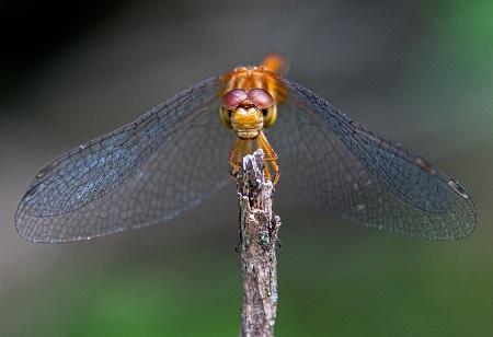 Dragonfly Dentures