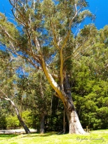 The Stringybark Gum Tree