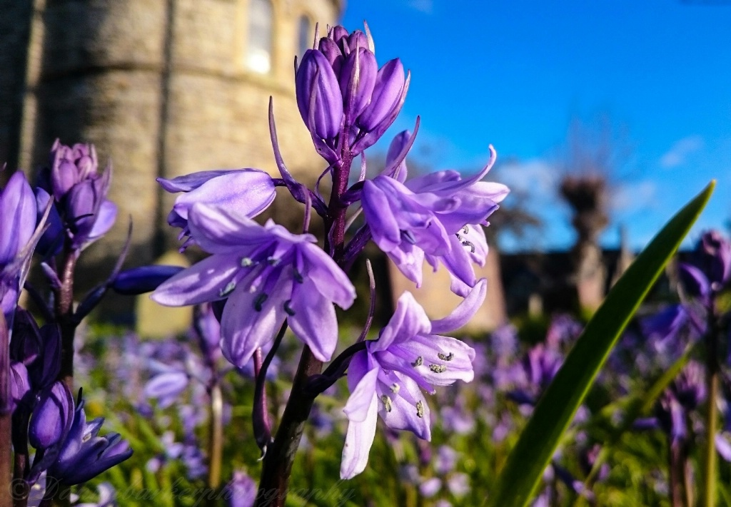 Bluebell In The Churchyard