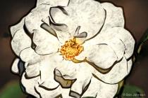 Artistic Beautiful White Rose 10-22-16 613