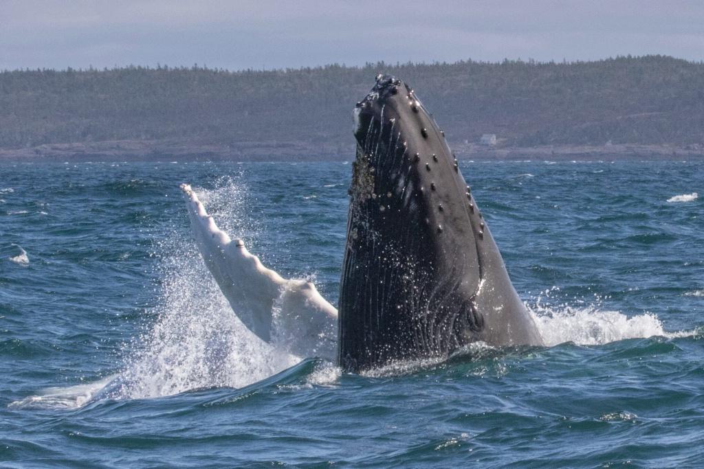 Humpback Whale - ID: 15273403 © Walter B. Biddle