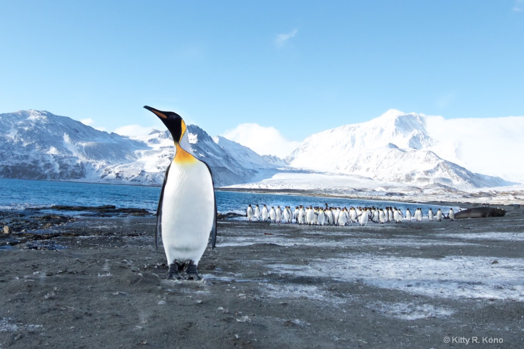 Penguin Checking Out Photographer - St. Andrews Ba - ID: 15274843 © Kitty R. Kono