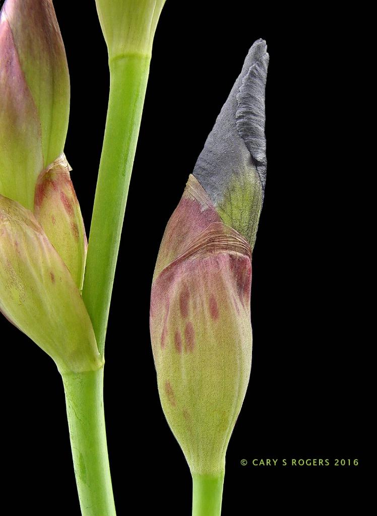 Curvaceous Iris Elements