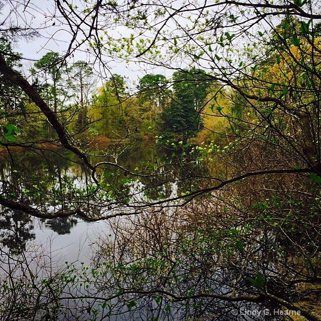 Dogwood by Lake