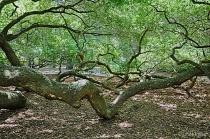 Aged Angel Oak