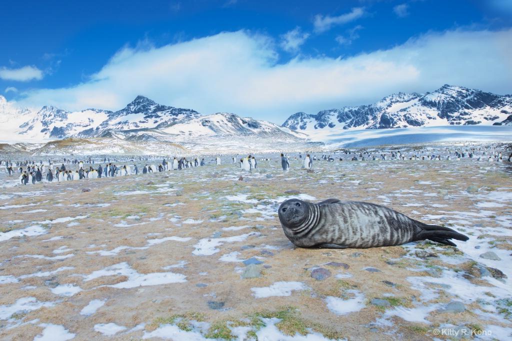 Fur Seal and King Penguins - ID: 15275607 © Kitty R. Kono