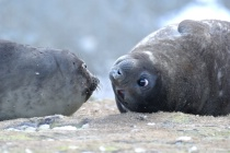 Eye Contact - Little Fur Seals Fortuna