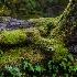 © Karen E. Gold PhotoID# 15278265: West Coast Rain Forest Floor