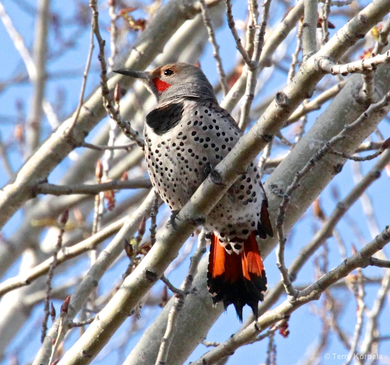 Northern Flicker Red-shafted - ID: 15278764 © Terry Korpela