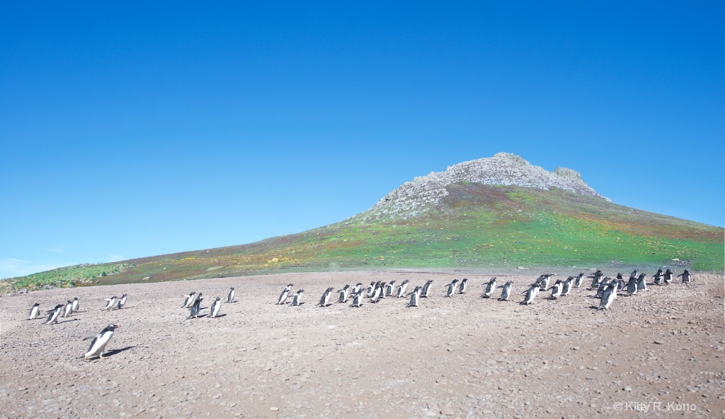 Gentoo Penguin - Steeple Jason Falkland Islands - ID: 15278874 © Kitty R. Kono