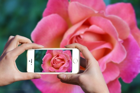 Pretty as a Rose
