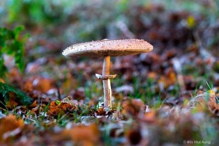 Mushroom Like Umbrealla