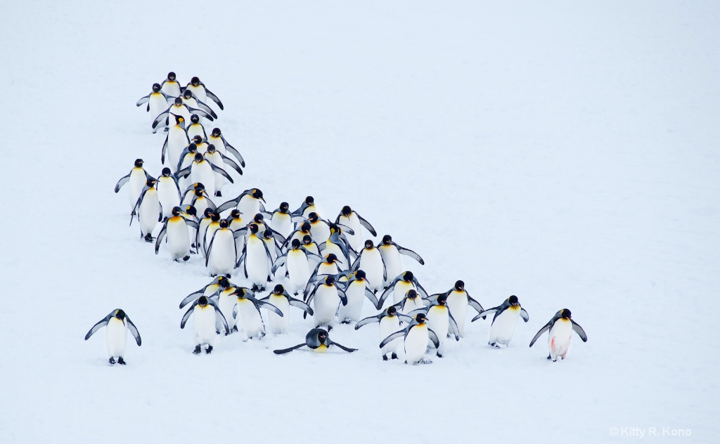 King Penguins From Above