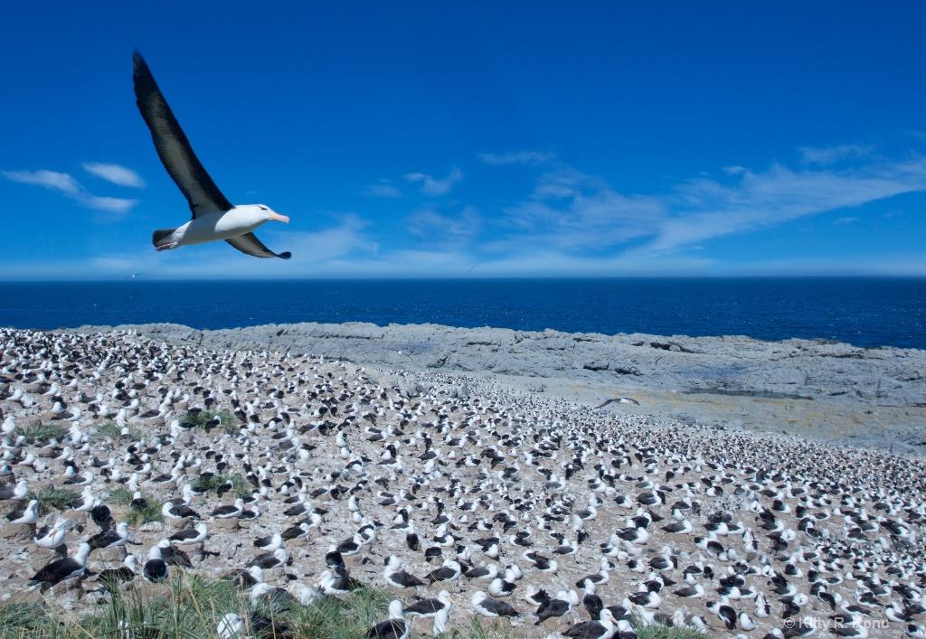 Black Browed Albatross  - ID: 15282058 © Kitty R. Kono