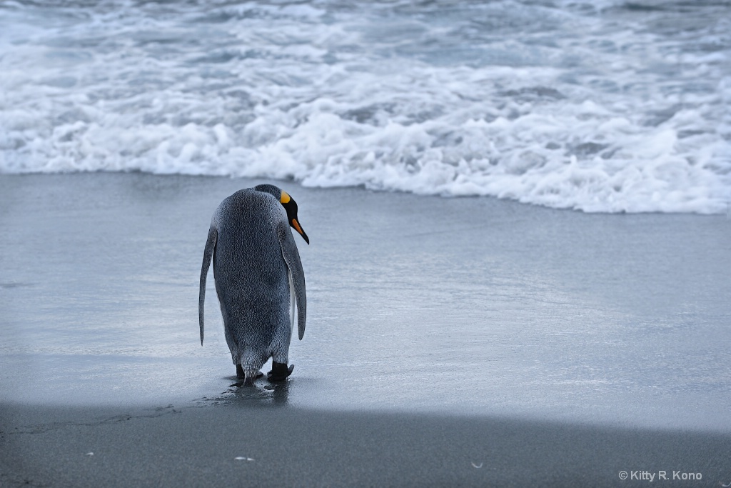 King Penguin going out to sea - ID: 15288034 © Kitty R. Kono