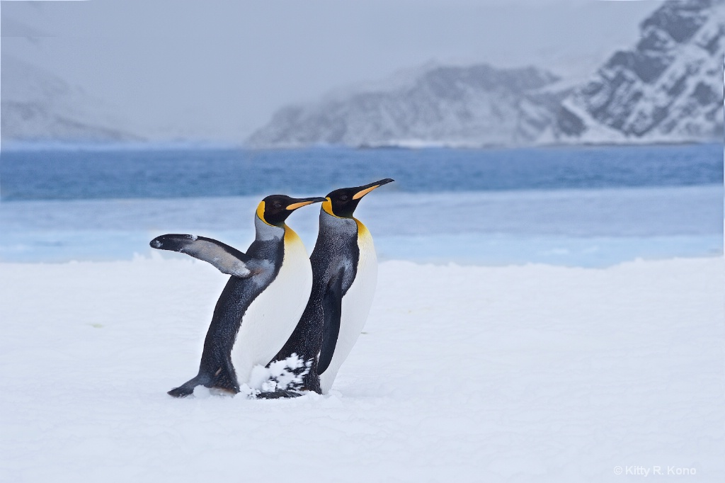 Penguins Strolling on the Beach at Right Whale Bay - ID: 15290009 © Kitty R. Kono