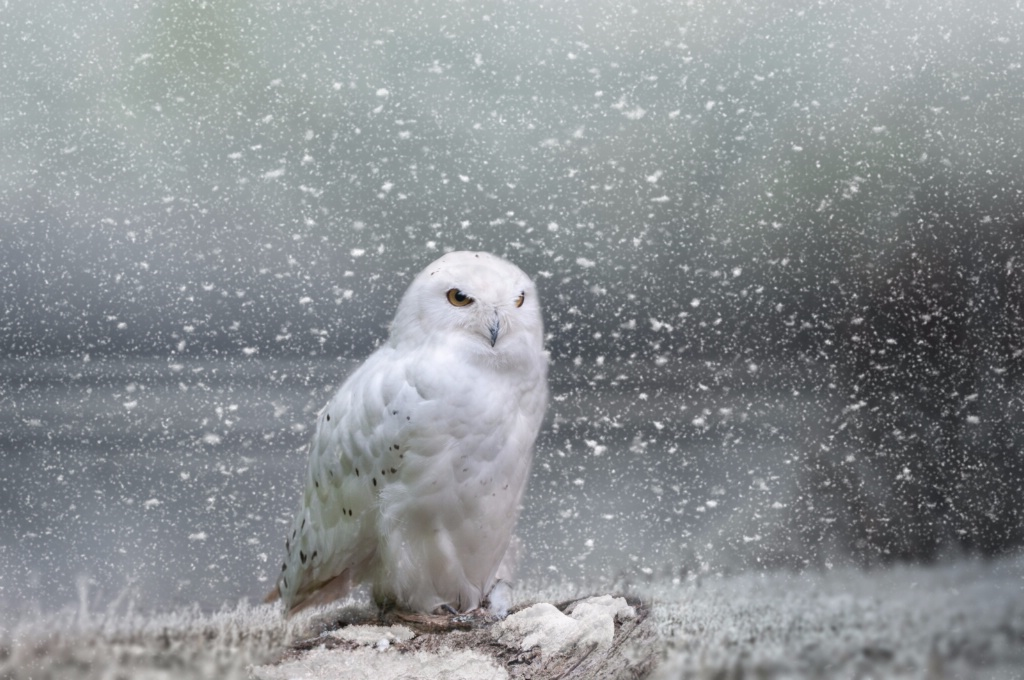 Owl in the snowstorm