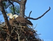 Nesting Bald Eagl...