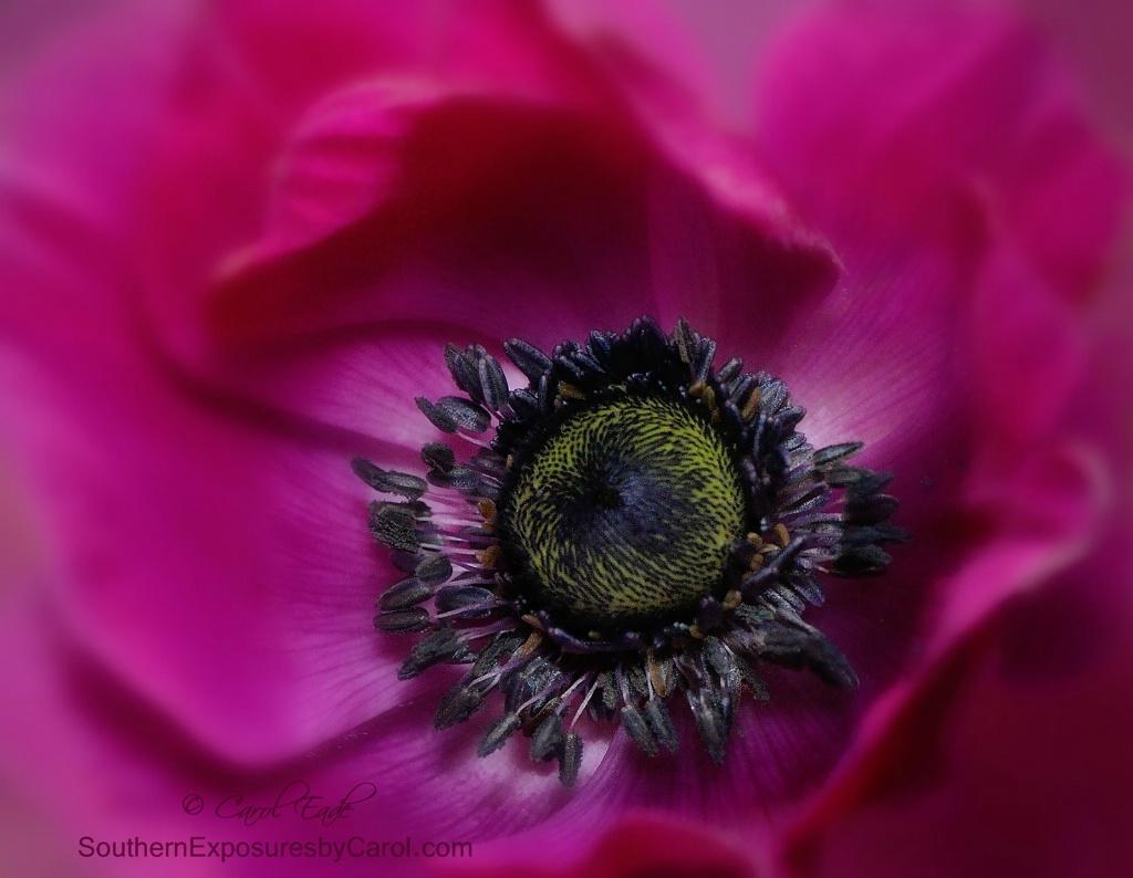 Windflower - ID: 15294072 © Carol Eade