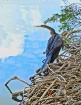 Anhinga in the Cl...