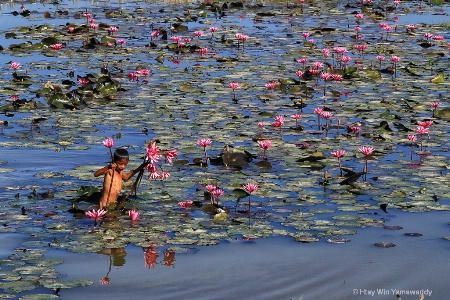 Taking lotus