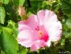 Hibiscus Under Gl...