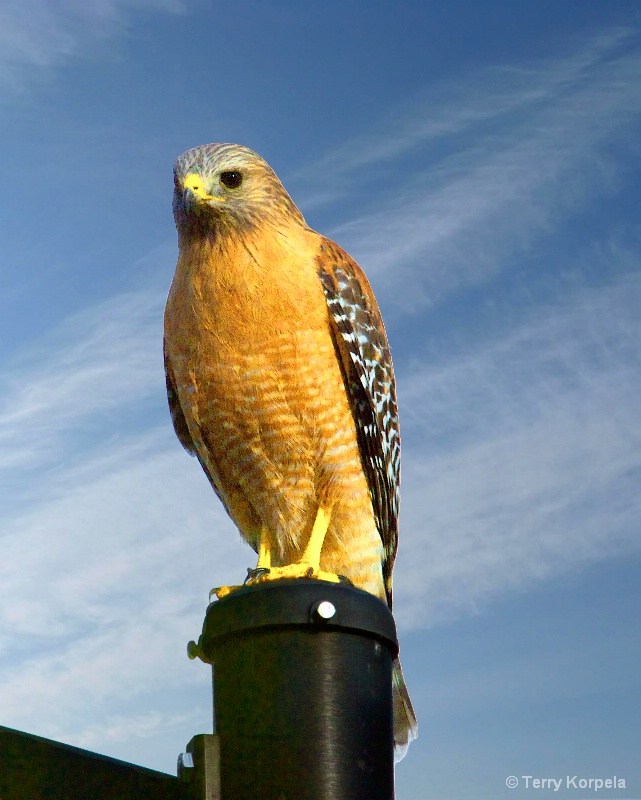 Red-shouldered Hawk - ID: 15297095 © Terry Korpela