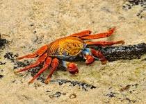 Curious Colorful Crab