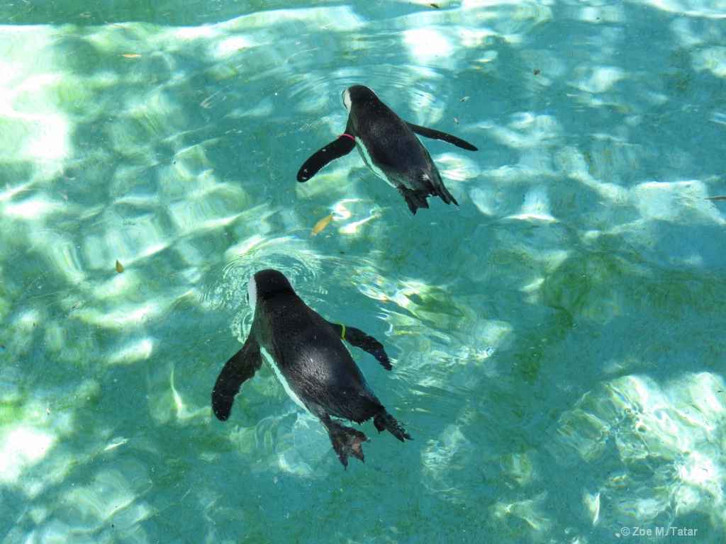 Swimming Penguins