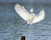 Snowy Egret Appro...