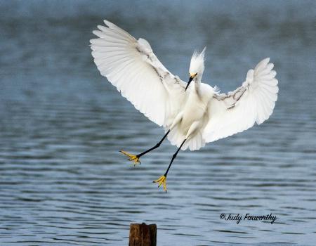 Snowy Egret Approaching A Landing Post