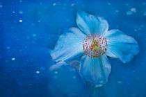 Flower of the Stars