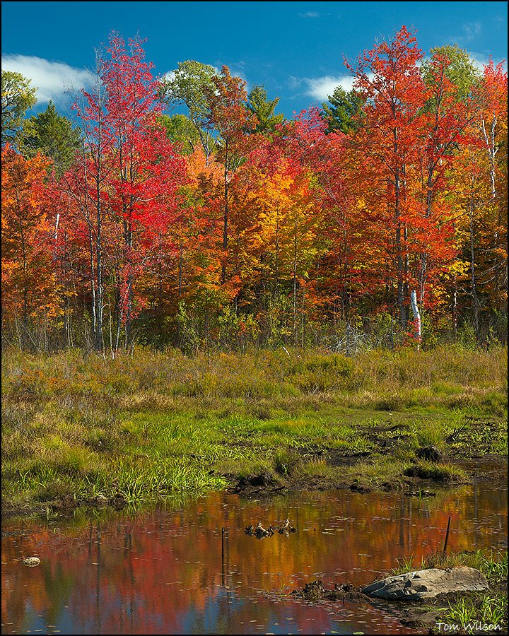 Bright Maples and Reflection - ID: 15301563 © Thomas R. Wilson