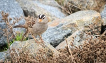 White Crowned Sparrow (named Jack)