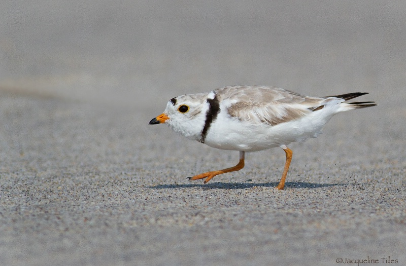 Piping Plover - ID: 15302526 © Jacqueline A. Tilles