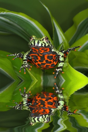 Tomato Frog Reflected