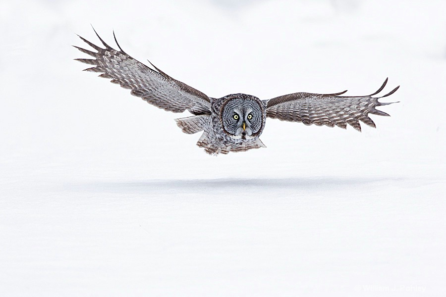 Great Gray Owl in flight  - ID: 15304115 © William J. Pohley