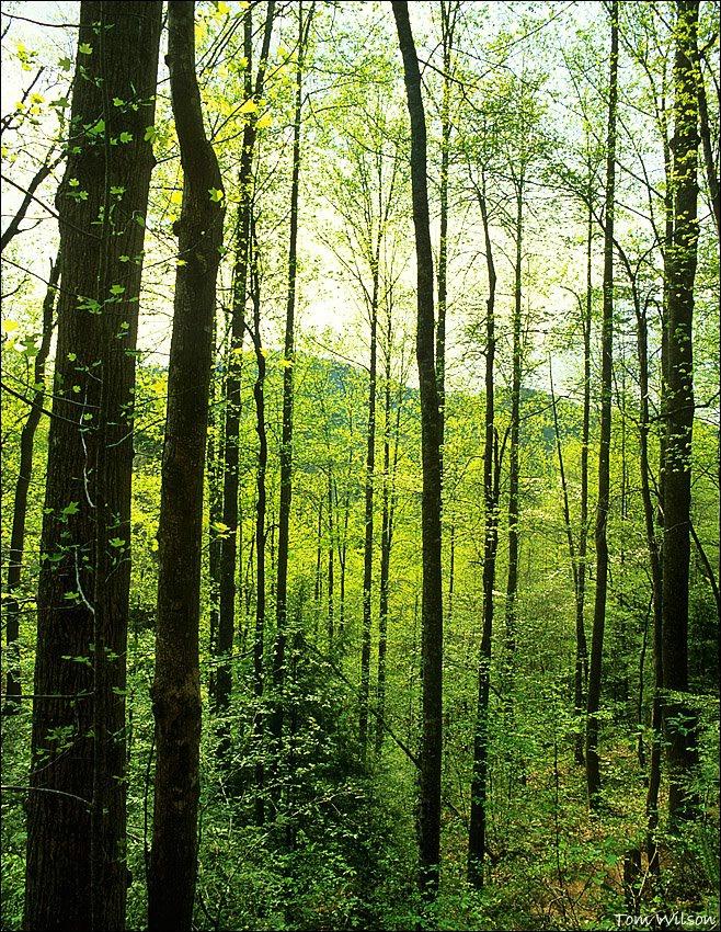 Smoky Mountain Spring Trees - ID: 15304188 © Thomas R. Wilson