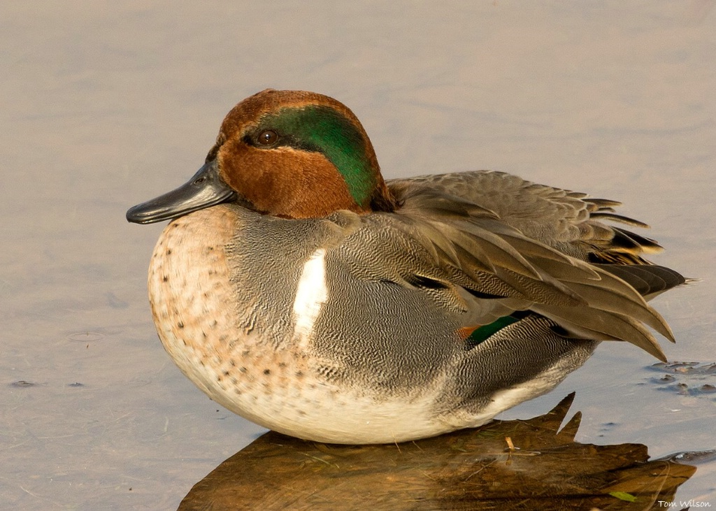 Male Green-winged Teal - ID: 15304293 © Thomas R. Wilson