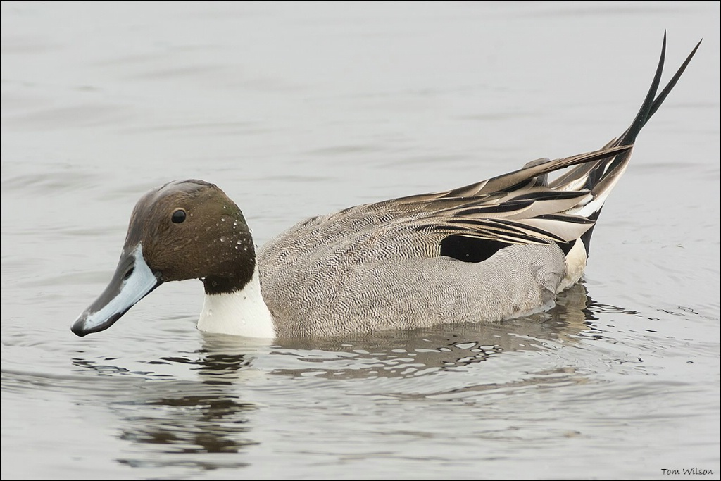 Northern Pintail  - ID: 15304347 © Thomas R. Wilson